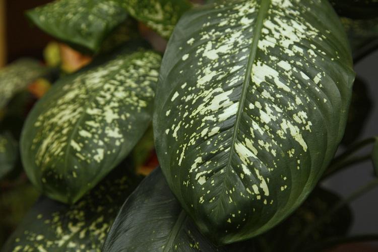 A comigo-ninguém-pode é uma planta extremamente tóxica e muito usada na ornamentação