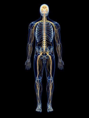 O sistema nervoso permite a percepção de estímulos