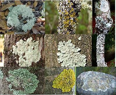 Os liquens podem ser encontrados sobre troncos de árvore, rochas ou barrancos