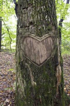 Para fazer o coração da foto acima, parte da casca foi retirada. Se a casca fosse retirada ao redor de toda a árvore, a planta morreria