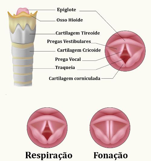 É na laringe que encontramos as pregas vocais