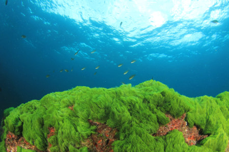 A maior parte das algas é  encontrada no ambiente marinho