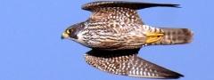 Falcão-peregrino (Falco peregrinus): animal voador mais veloz do mundo.