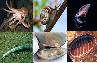 Os moluscos possuem representantes terrestres, marinhos e de água doce