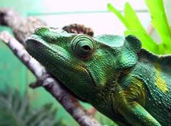 O camaleão é um animal que não utiliza a mudança de cor apenas para se camuflar