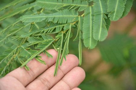 A planta sensitiva apresenta a capacidade de responder ao toque