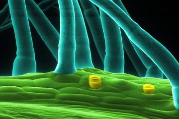 Observe a epiderme com tricomas e estômatos, estruturas relacionadas com proteção e trocas gasosas, respectivamente