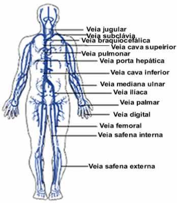 Algumas das principais veias e artérias do corpo humano
