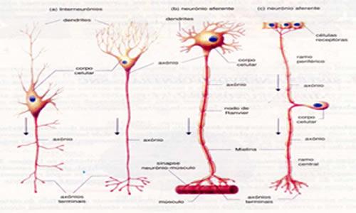 Propagação Do Impulso Nervoso Transmissão Do Impulso Nervoso