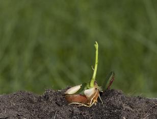 O ácido abscísico atua inibindo a germinação da semente. A germinação só acontece quando os teores desse hormônio diminuem