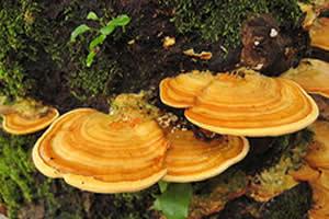 Alguns fungos apresentam corpos de frutificação, como é o caso das orelhas-de-pau.
