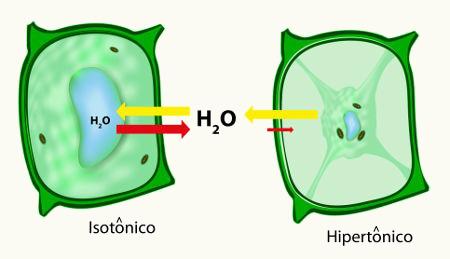 Representação do fenômeno da osmose em uma célula vegetal