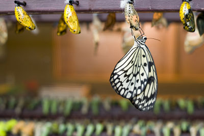 A borboleta é um inseto que sofre metamorfose completa