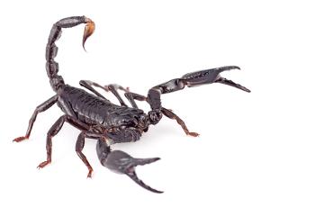 Os escorpiões são artrópodes pertencentes ao grupo dos aracnídeos