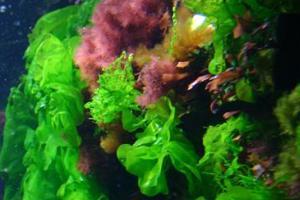 Alface-do-mar (Ulva lactuca): alga multicelular pertencente ao filo das clorofíceas.