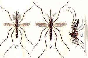 Morfologia do mosquito transmissor da dengue e febre amarela: <i>Aedes aegypti.</i>