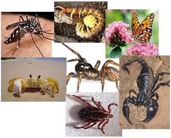 O filo dos artrópodes é constituído por animais que possuem patas articuladas