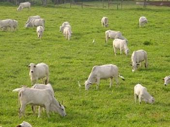 A criação de gado é uma das práticas da pecuária.