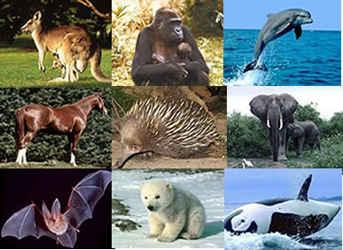 Os mamíferos formam o grupo mais evoluído e mais conhecido dos cordados