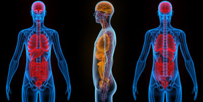 O organismo humano é constituído por diferentes sistemas