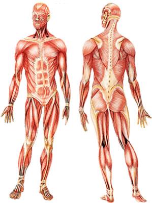 Os músculos, em conjunto com os ossos, fazem a movimentação e a locomoção do nosso corpo