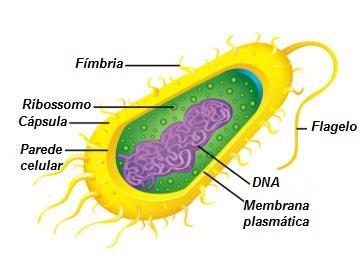 Observe a estrutura básica de uma bactéria