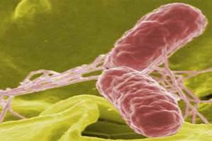 Identificação de bactérias pelo método Gram.