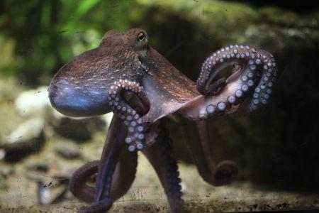 Os polvos são moluscos que apresentam grande capacidade de camuflagem