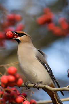 Os frutos carnosos são normalmente dispersos por animais vertebrados