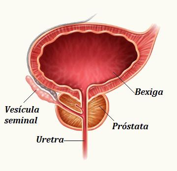 prostata fisiologia pdf