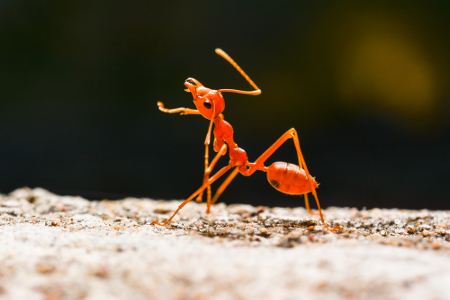O nome usual do ácido fórmico tem relação com as formigas