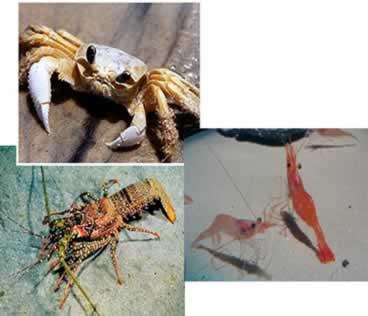 Algumas espécies de crustáceos: siri, lagosta e camarões
