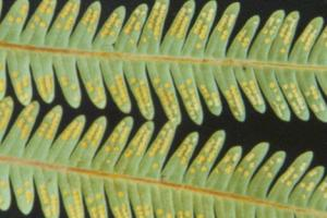 Folha de samambaia. Observe os folíolos e a presença dos soros.
