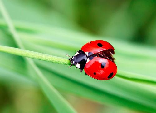 A joaninha é um exemplo de inseto