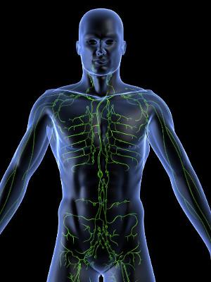 O sistema linfático é formado por uma rede de vasos e estruturas chamadas linfonodos