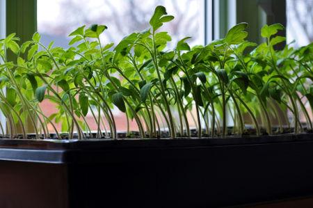 Observe o crescimento do vegetal orientado em direção à luz