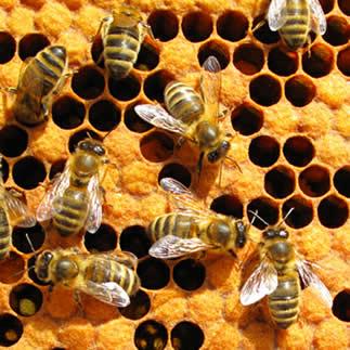 As abelhas formam uma sociedade muito bem organizada
