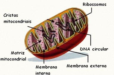As mitocôndrias são responsáveis pela produção de energia para todas as atividades celulares.