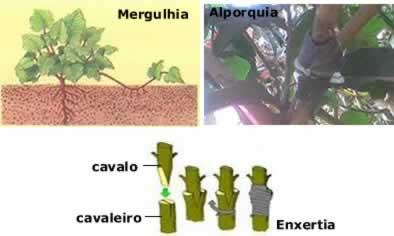 A reprodução assexuada nas angiospermas também pode ser chamada de propagação vegetativa