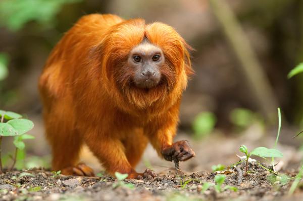 O hábitat do mico-leão-dourado é a Mata Atlântica