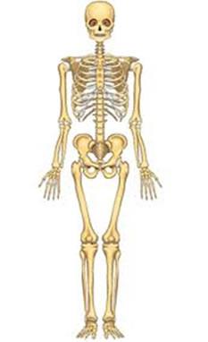 O esqueleto nos dá sustentação e protege nossos órgãos