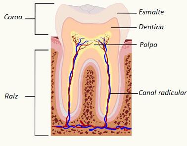 Veja as partes de um dente