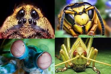 Os animais invertebrados possuem desde olhos simples até olhos mais complexos que se assemelham aos olhos dos vertebrados