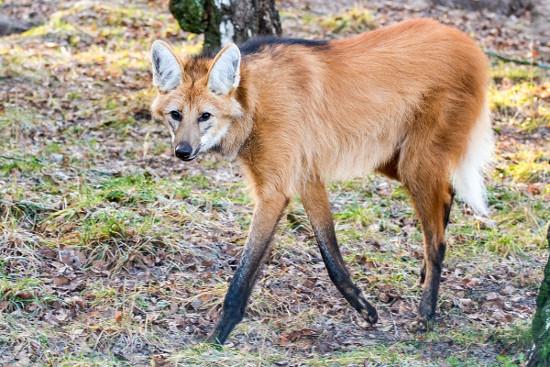 O lobo-guará (Chrysocyon brachyurus), na teia alimentar, pode ocupar mais de um nível trófico, já que é onívoro