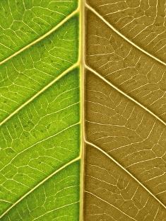 A citocinina atrasa o envelhecimento da folha