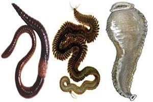 Representantes da Classe Oligochaeta, Polychaeta e Hirudínea.