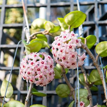 A flor-de-cera (Hoya carnosa) é um exemplo de planta CAM
