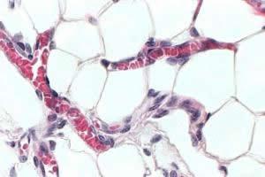 Adipócitos: células do tecido adiposo.