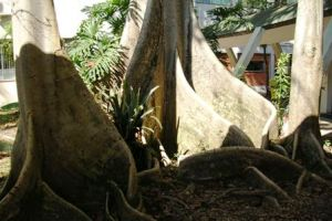 Raízes tabulares, encontradas em chichás (Sterculia chicha).