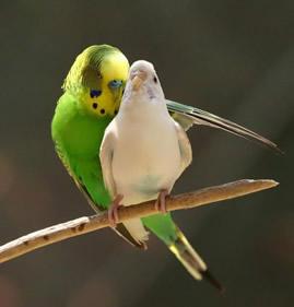 Algumas espécies de aves apresentam dimorfismo sexual
